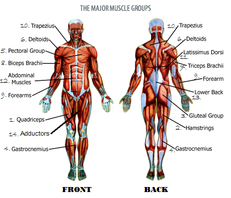 The Main Muscle Groups Of Your Body Nicofitwolff