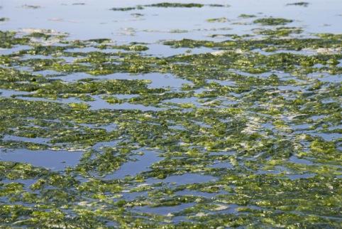 spirulina-algae-lake-benefits